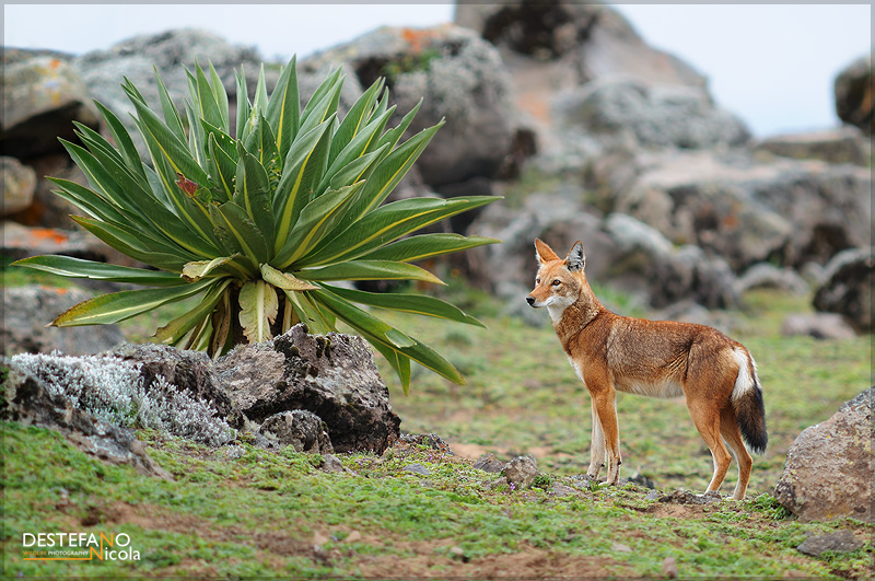Ethiopian Wolf - Canis simensis