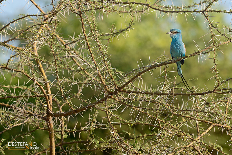 Abyssinian Roller- Coracias abyssinicus