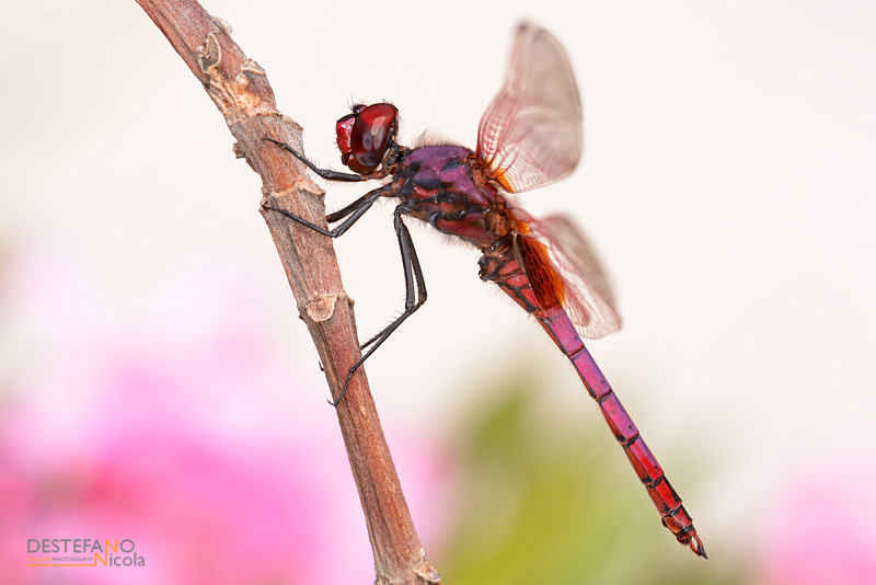 Violet-marked Darter - Trithemis annulata